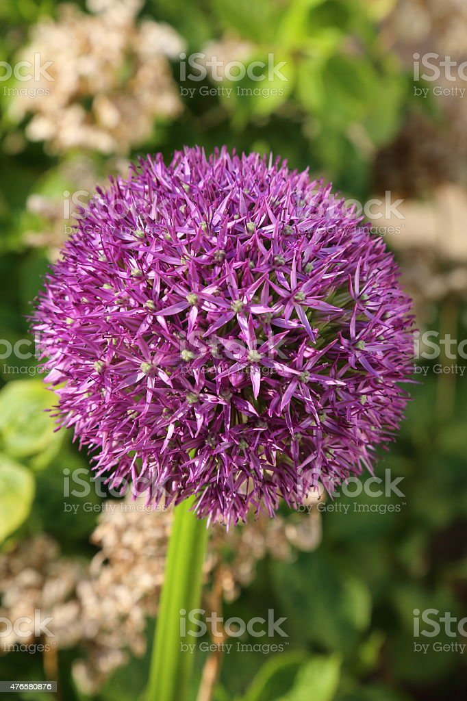 Giant Onion - Allium giganteum stock photo