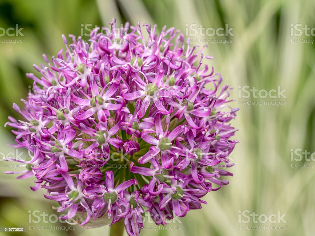 Giant Onion, Allium giganteum stock photo