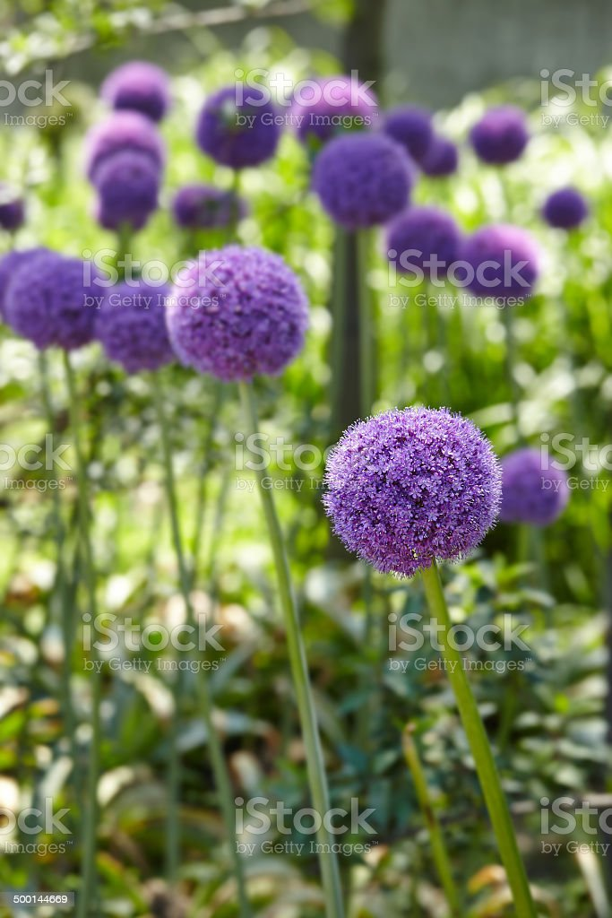 Giant Onion (Allium Giganteum) blooming stock photo