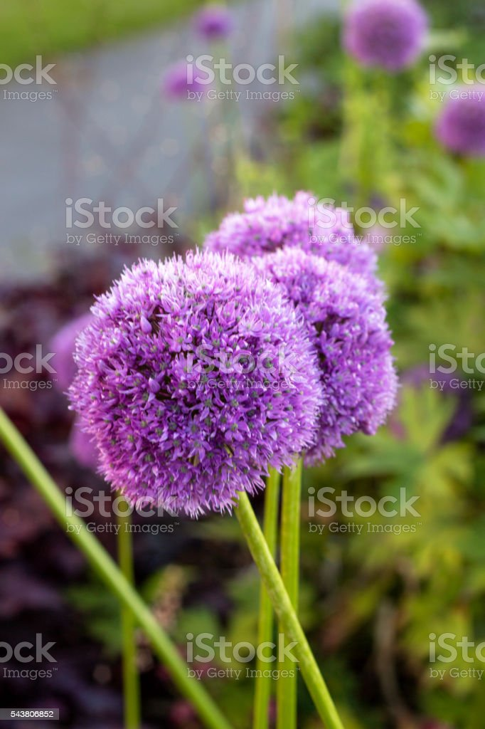 Giant Onion stock photo