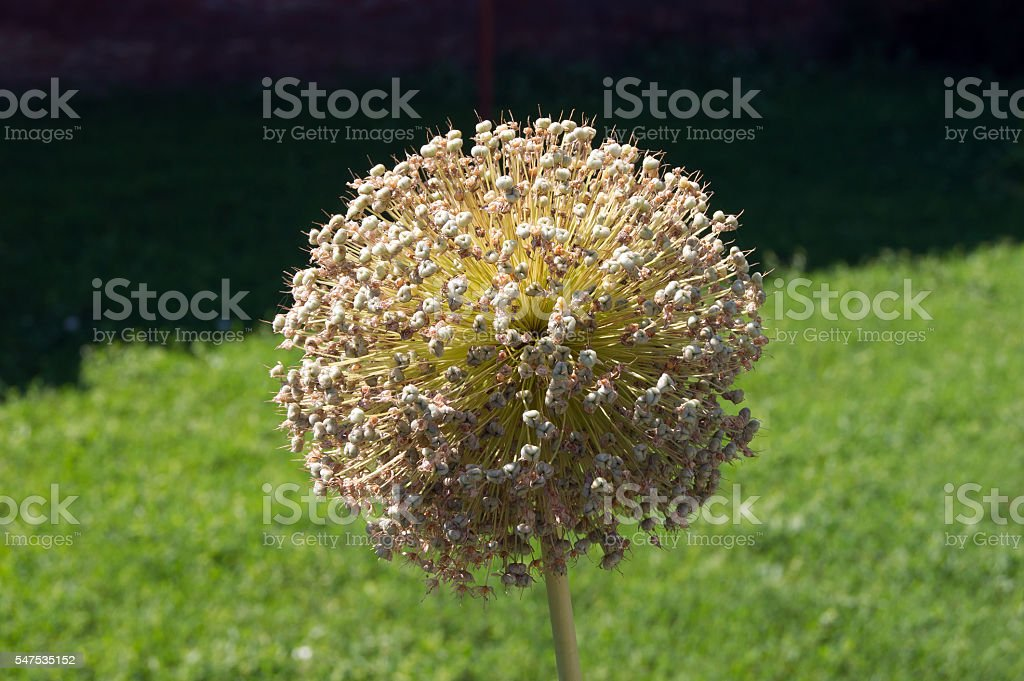 Giant Ornamental onion (Allium giganteum) stock photo