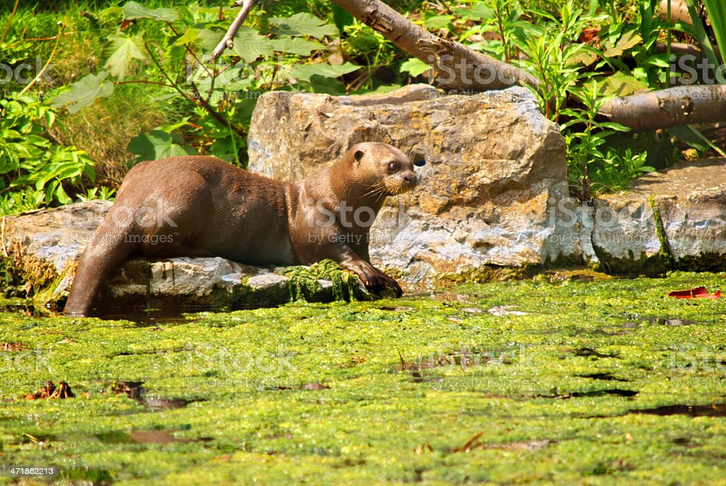 Giant Otter royalty-free stock photo