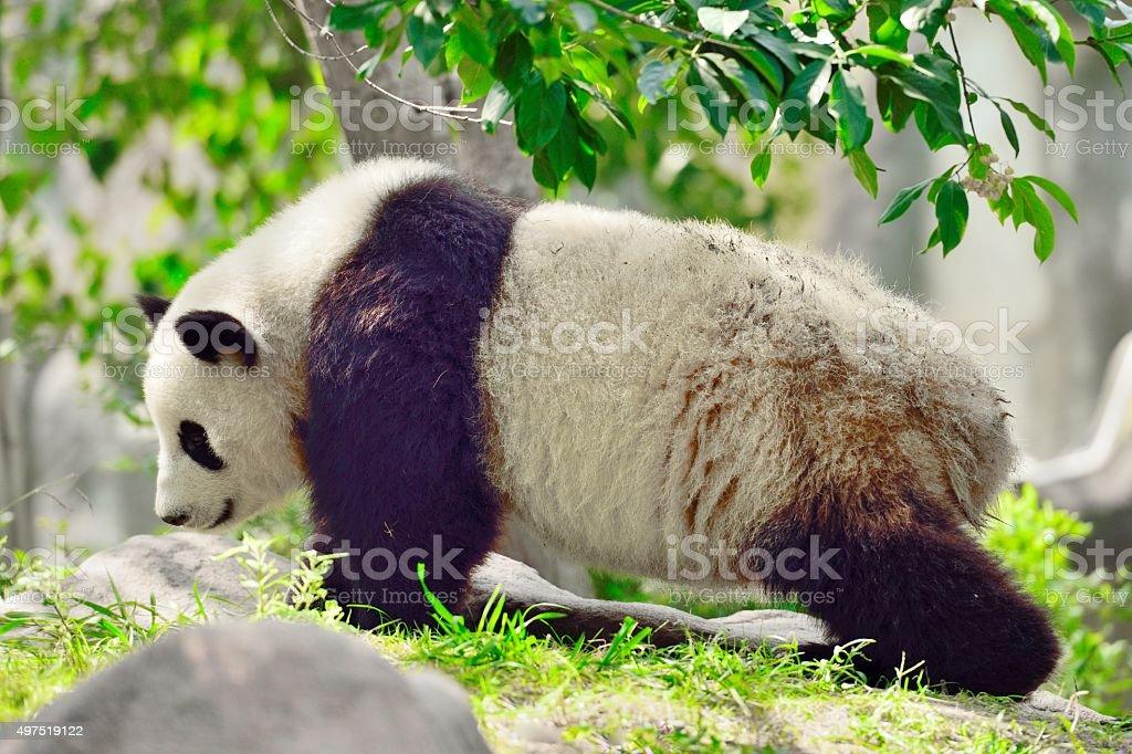 Giant panda(Ailuropoda melanoleuca) 04 stock photo