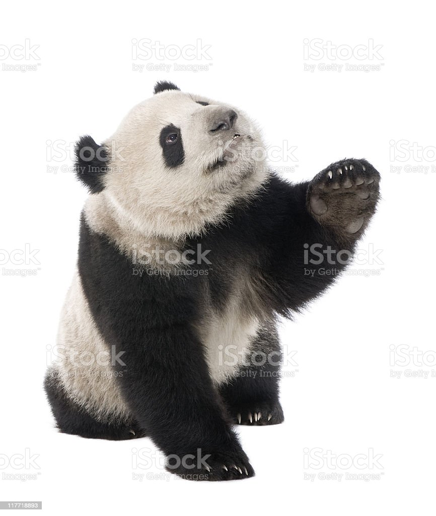 Giant Panda (18 months) - Ailuropoda melanoleuca stock photo