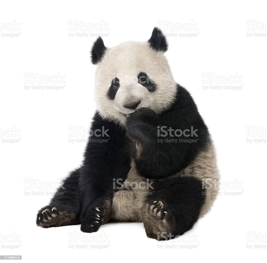 Giant Panda (18 months) - Ailuropoda melanoleuca royalty-free stock photo