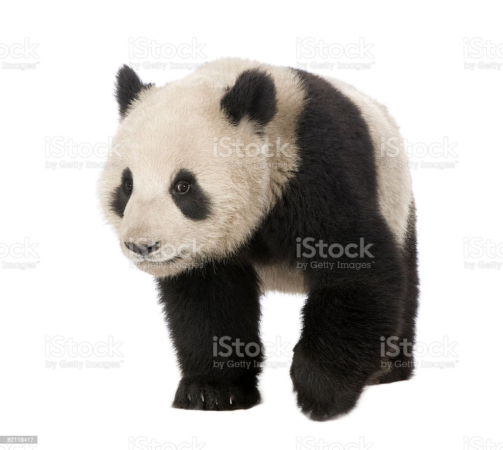 Giant Panda (18 months) - Ailuropoda melanoleuca royalty-free stock photo