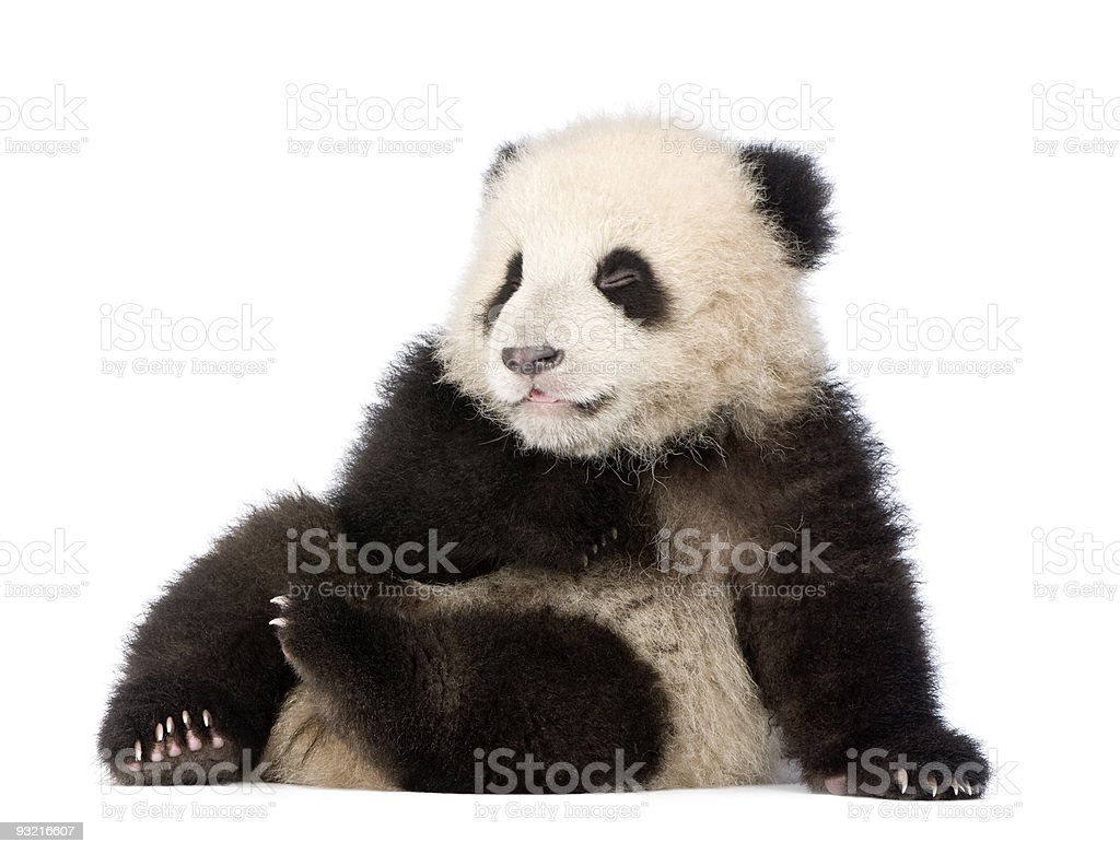 Giant Panda (6 months) - Ailuropoda melanoleuca stock photo