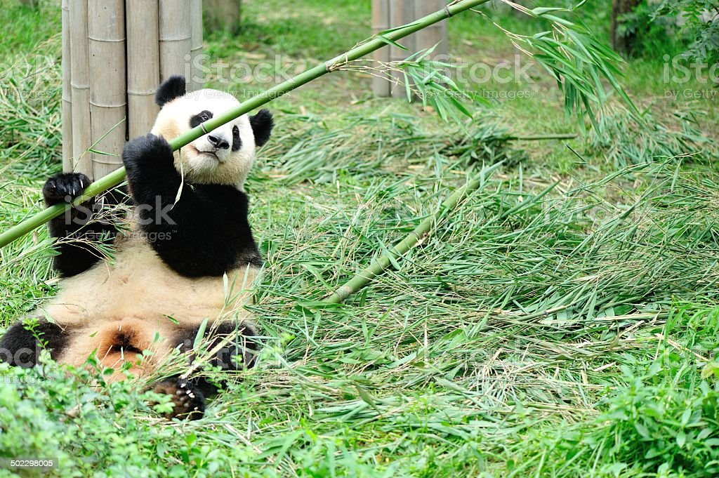 giant panda at chengdu, china stock photo