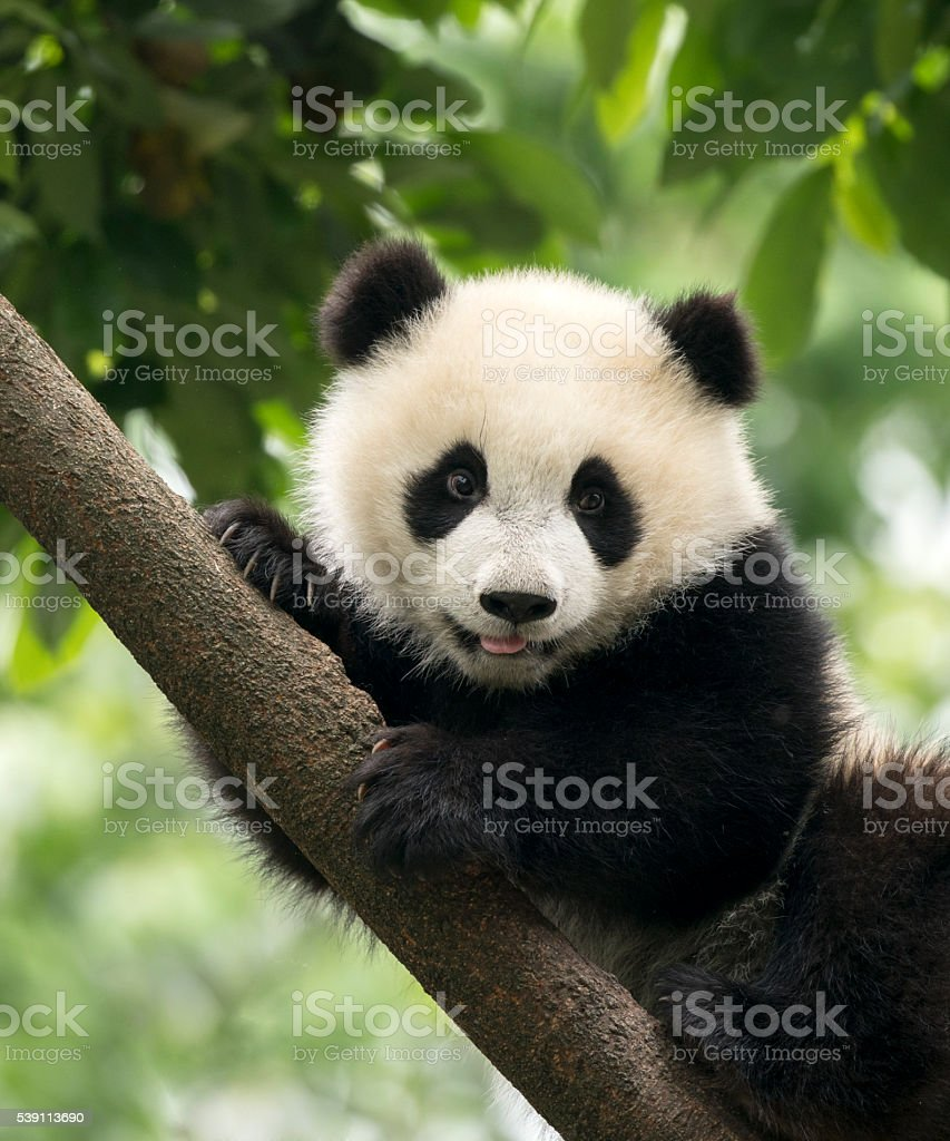 Giant Panda baby cub in Chengdu area, China stock photo