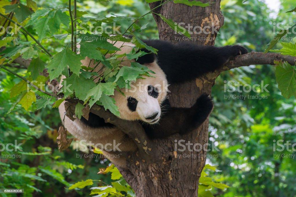 Giant Panda bear  (Ailuropoda melanoleuca) climbing in a tree stock photo