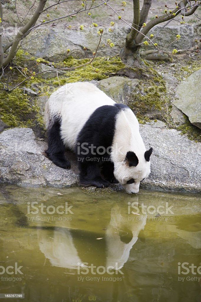 Giant panda bear leaning into pond from rock drinking water royalty-free stock photo
