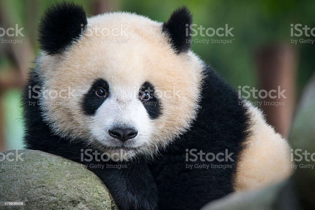 Giant Panda bear  (Ailuropoda melanoleuca) stock photo