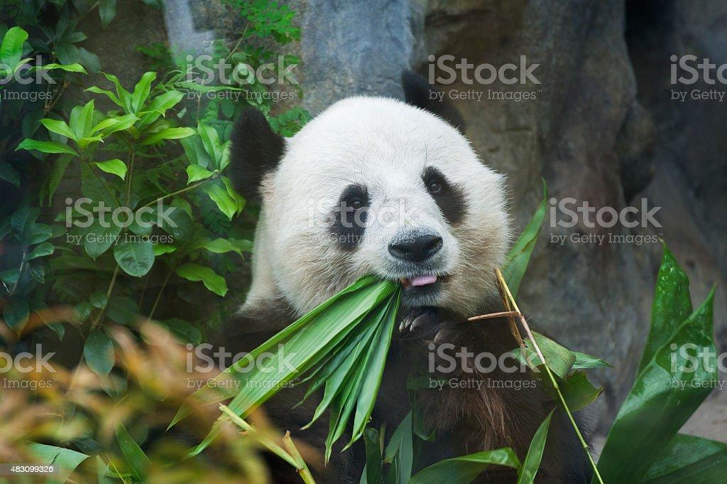 Giant panda bear stock photo