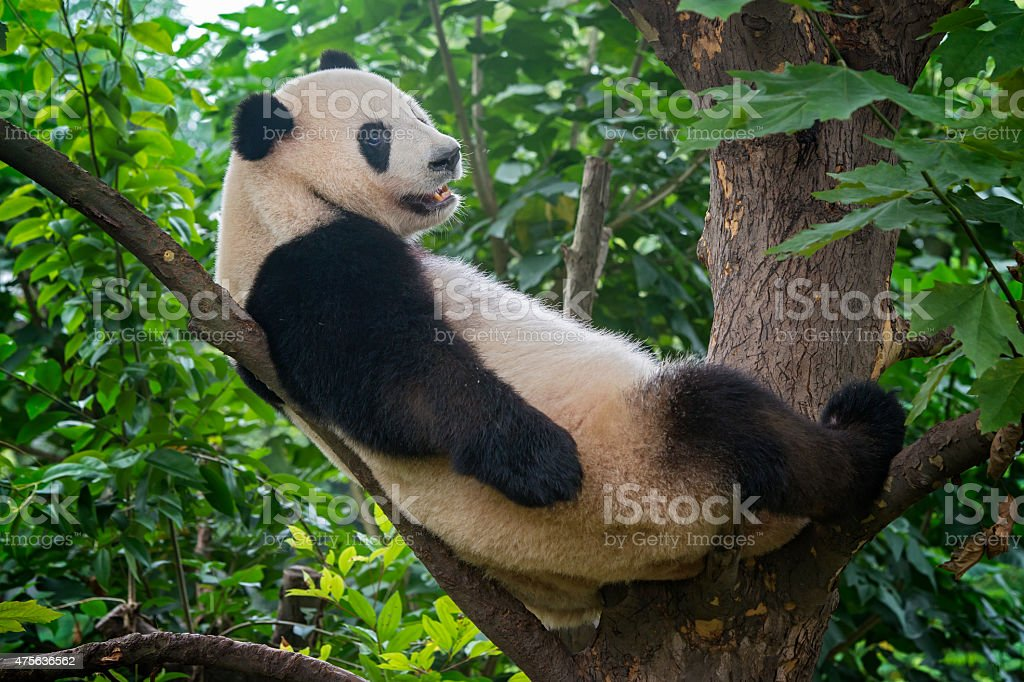 Giant Panda bear  (Ailuropoda melanoleuca) sitting in a tree stock photo