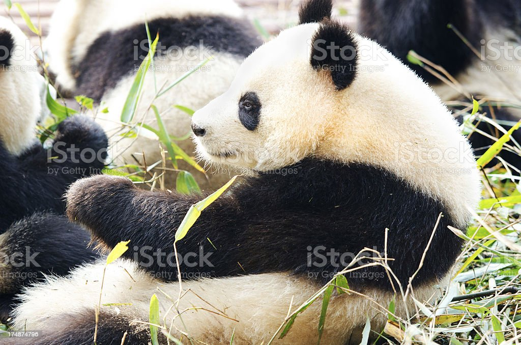 Giant Panda - China stock photo
