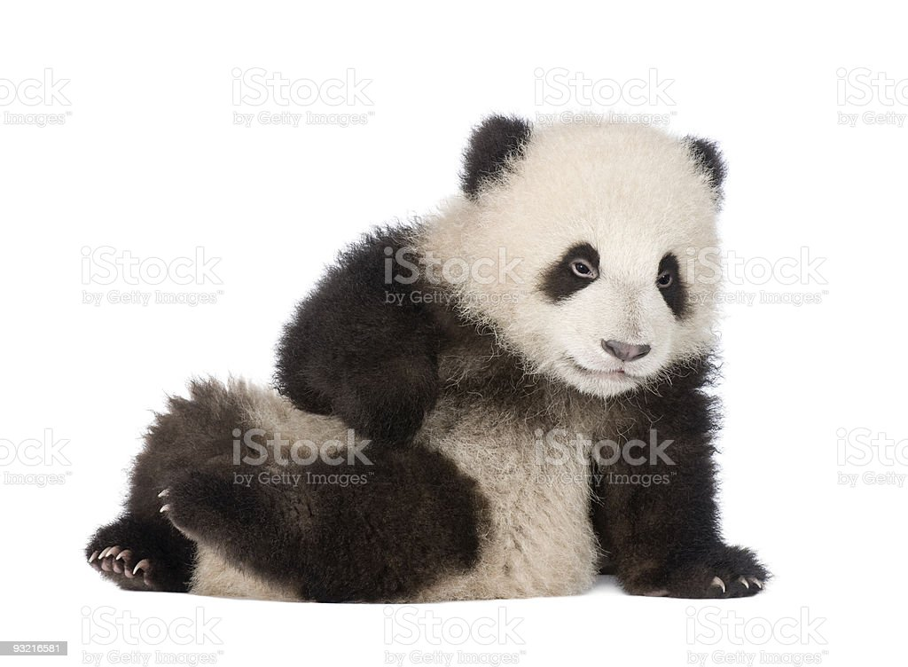 Giant Panda cub (4 months) - Ailuropoda melanoleuca stock photo