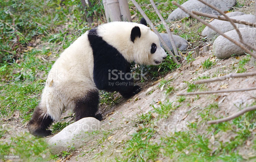 Giant Panda cub walking - Chengdu, China royalty-free stock photo