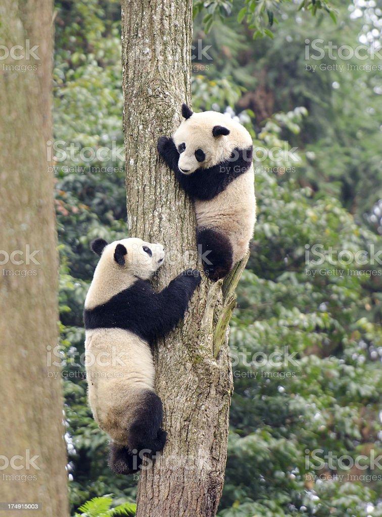 Giant Panda Cubs at Play - China royalty-free stock photo