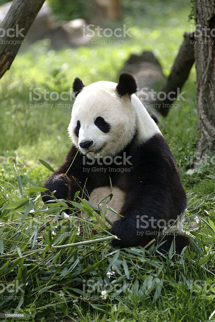 Giant panda enjoying bamboo in the forest  royalty-free stock photo