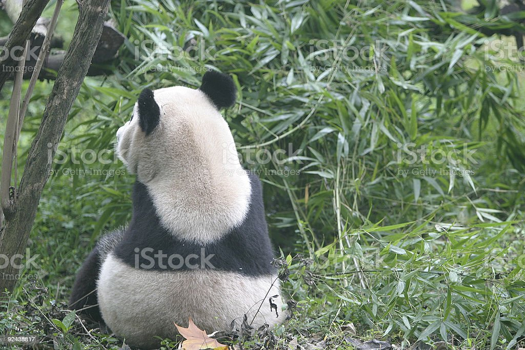 Giant Panda in deep thought stock photo