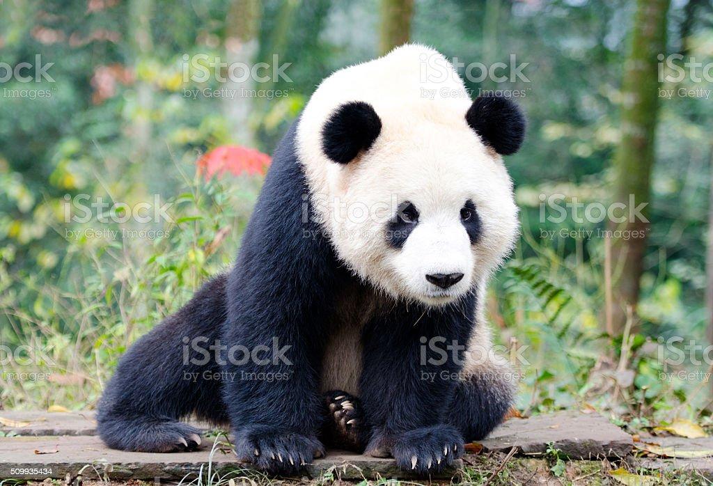 Giant Panda Looking at camera - Chengdu, China. stock photo