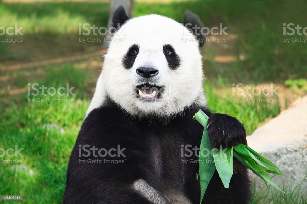 Giant Panda looking into camera holding green leaves stock photo