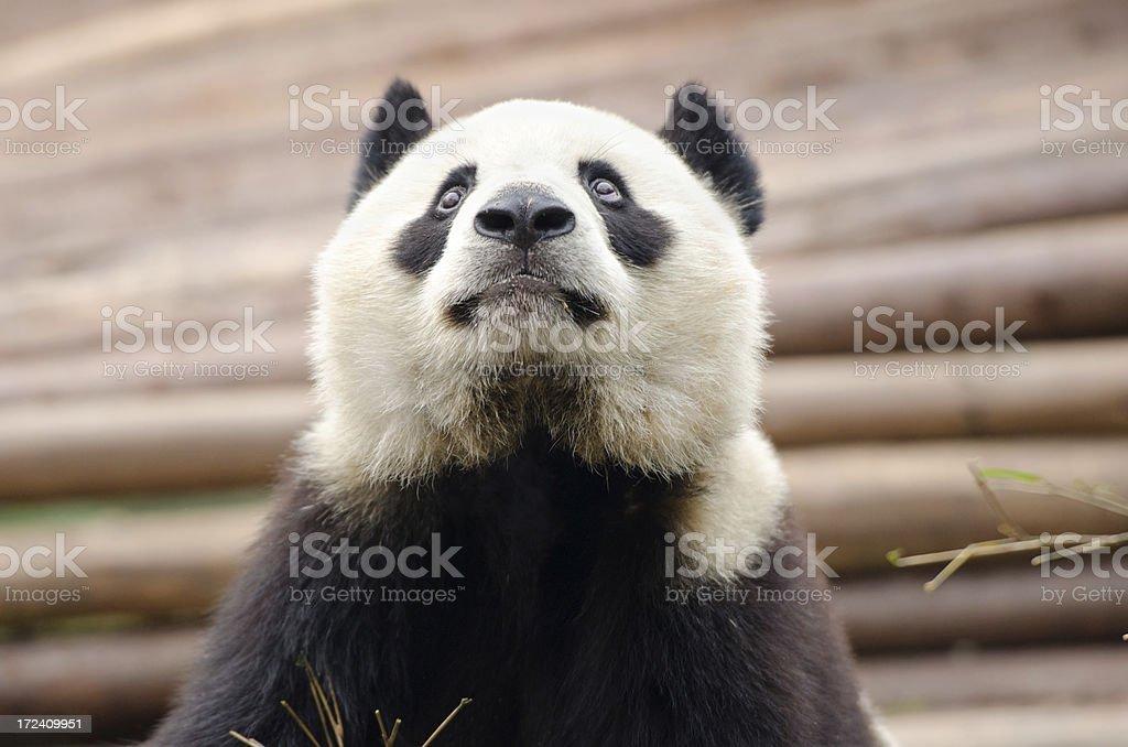 Giant Panda looking skyward- China royalty-free stock photo