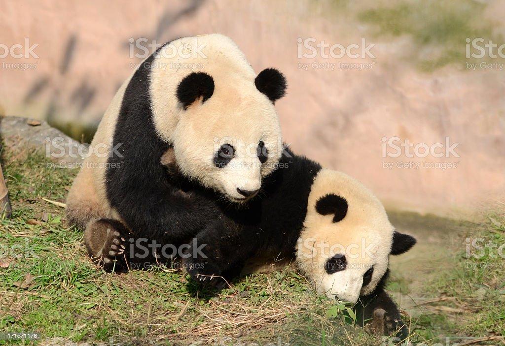 Giant Panda Mother & Cub at Play - China stock photo