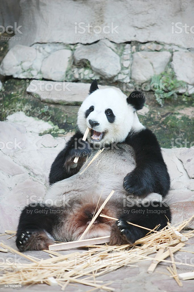 Giant Panda (Ailuropoda melanoleuca) stock photo