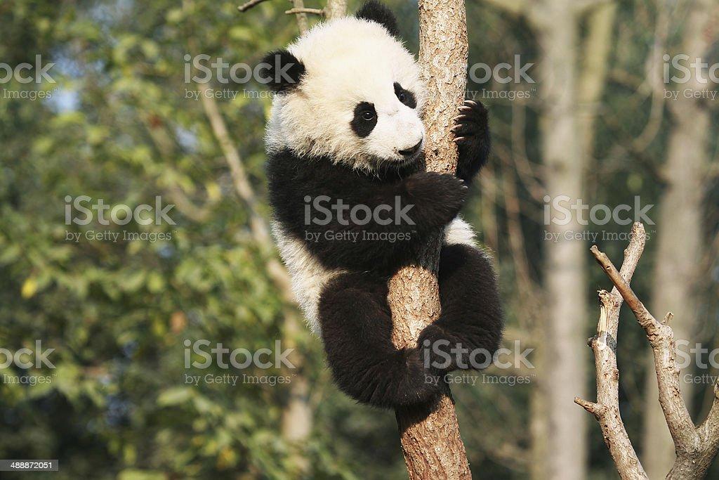 Giant Panda ??? stock photo