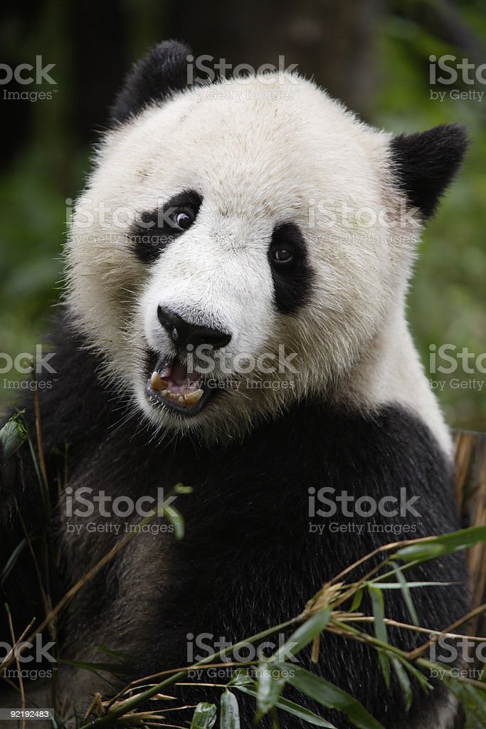 Giant Panda royalty-free stock photo