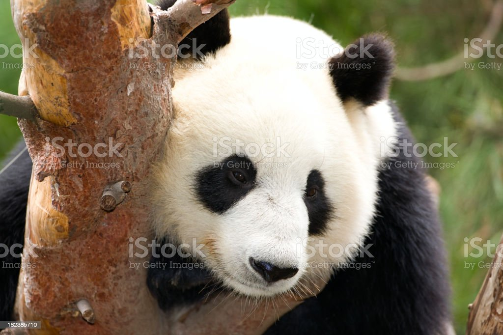 Giant panda resting in tree, high res original file. royalty-free stock photo