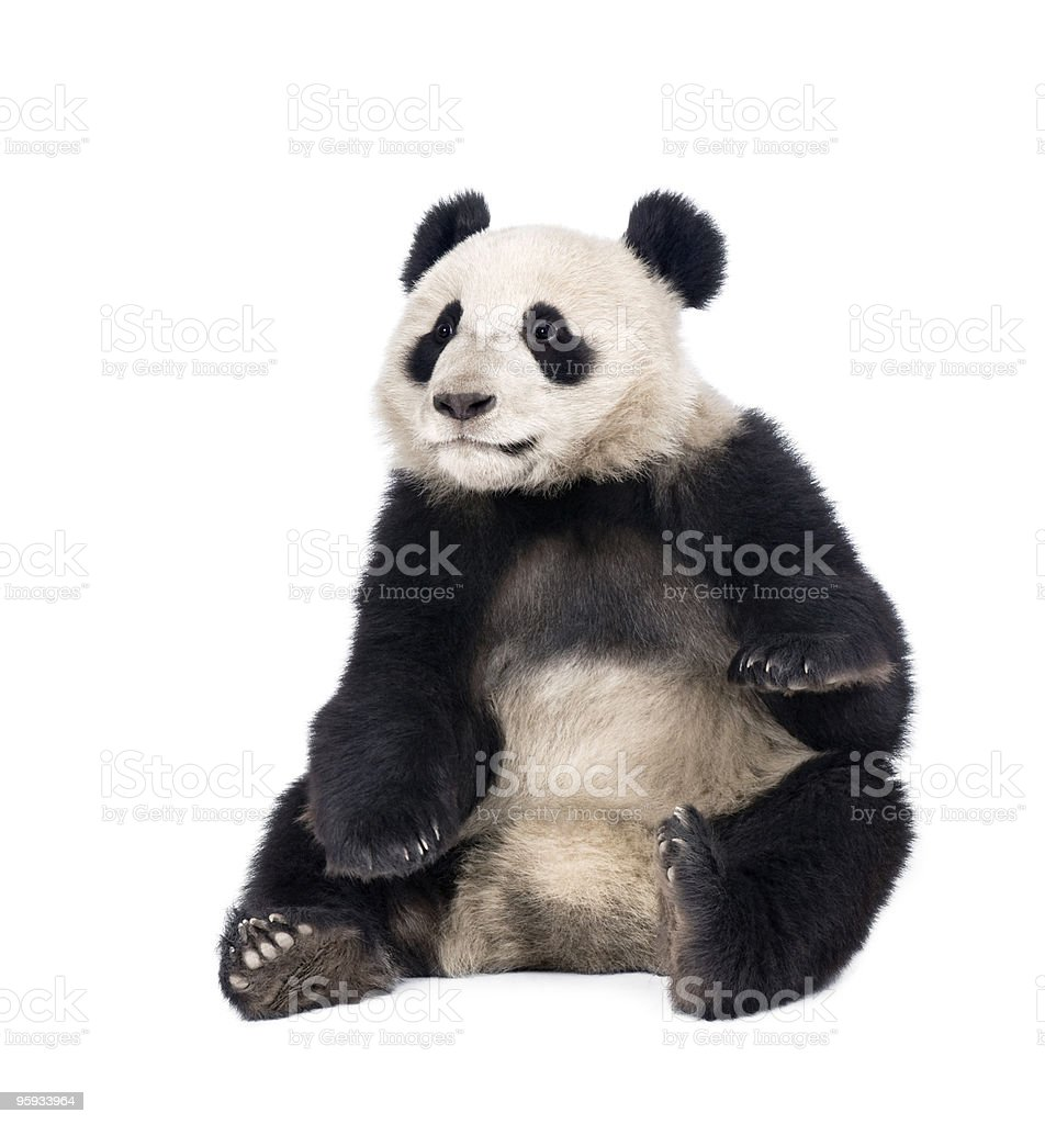 Giant Panda sitting in front of white background stock photo