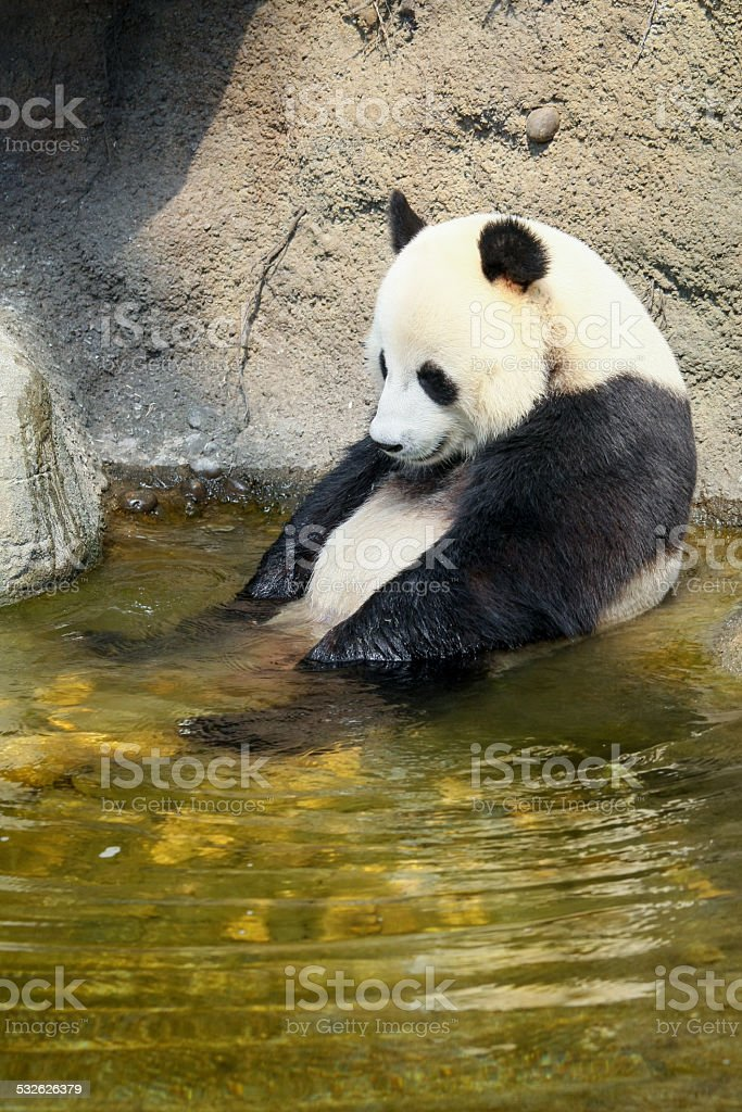 Giant panda sitting in water stock photo