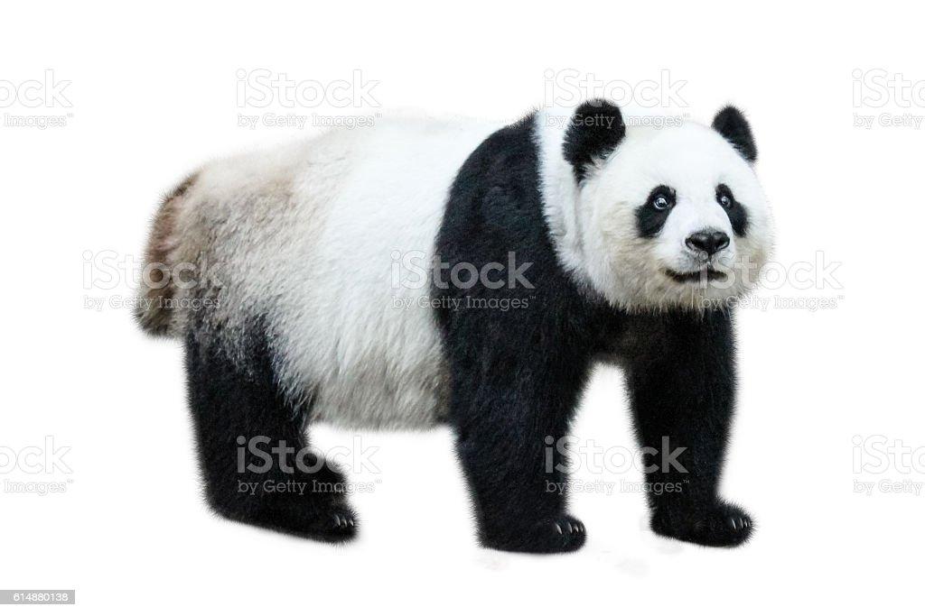 Giant Panda standing stock photo