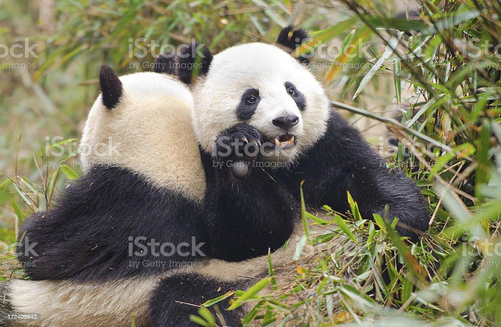 Giant Panda Thinking Pose - China royalty-free stock photo