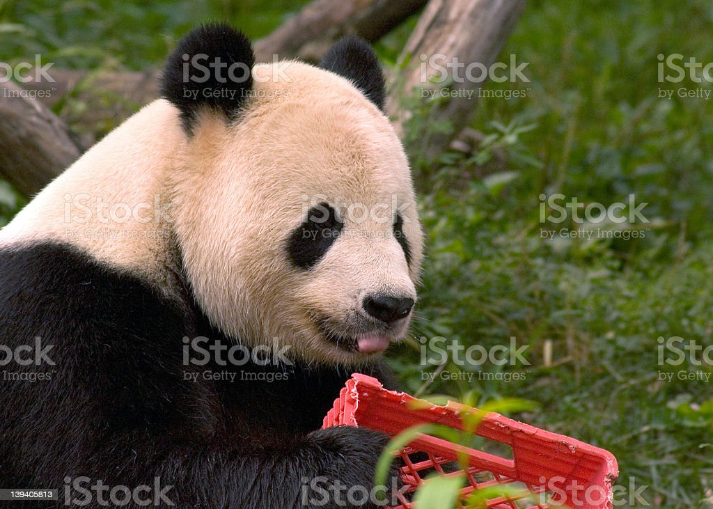Giant panda with milk crate 4 royalty-free stock photo