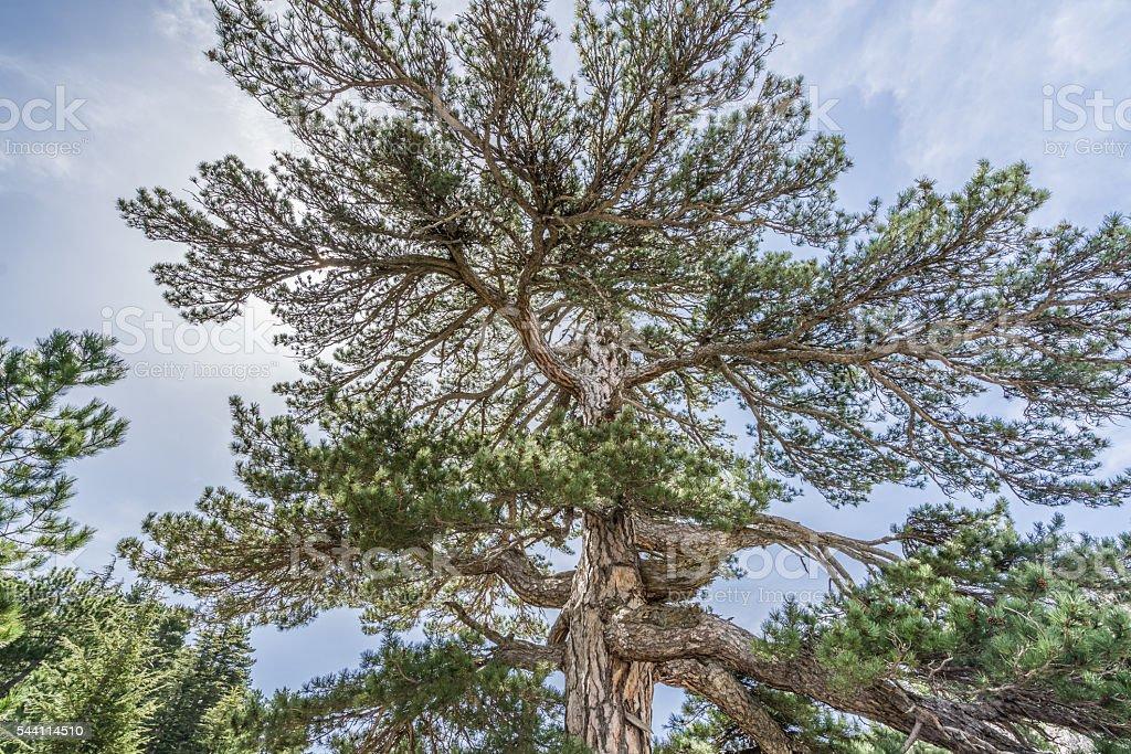 Giant Pine Tree stock photo