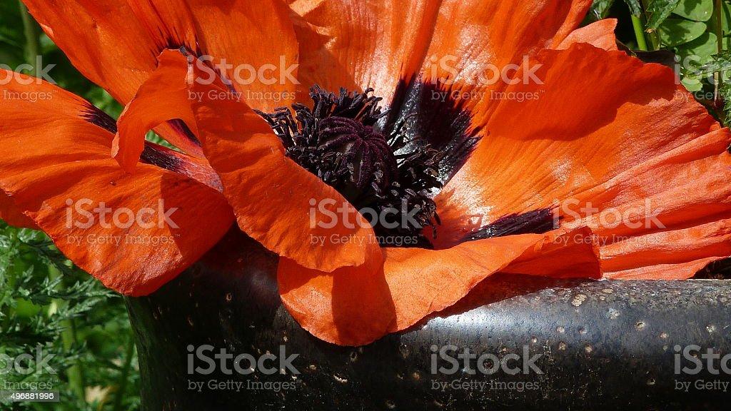 Giant poppy flower stock photo