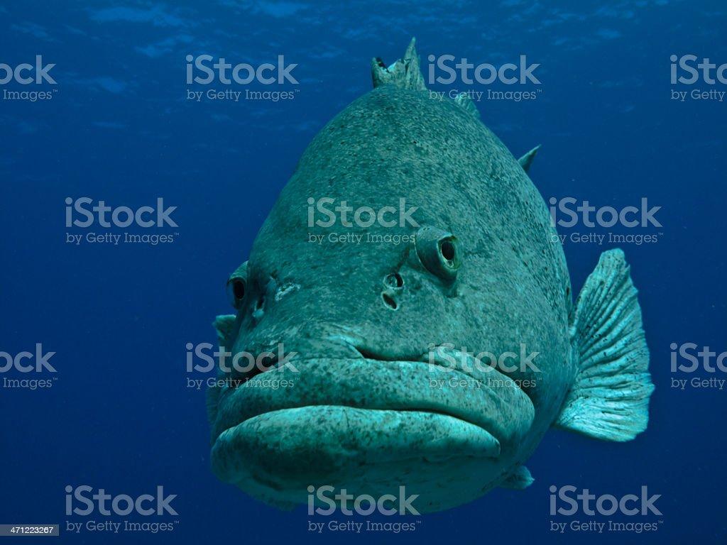 Giant Potato Fish undersea on Great Barrier Reef Australia royalty-free stock photo