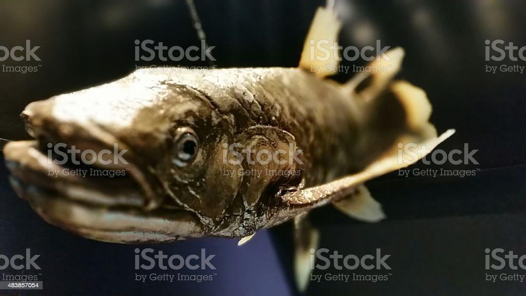 Giant Prehistoric Fish stock photo