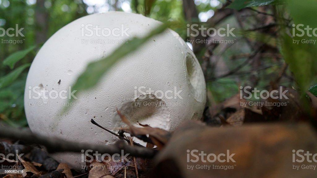 Giant Puffball Mushroom (Calvatia gigantea) stock photo