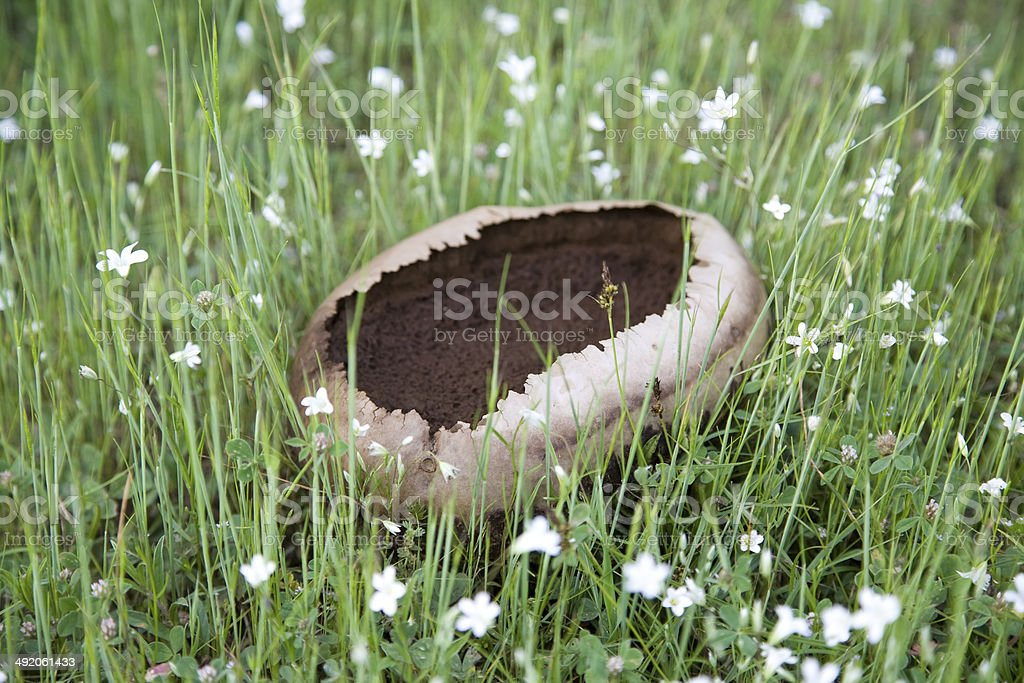 Giant puffball mushrooms royalty-free stock photo