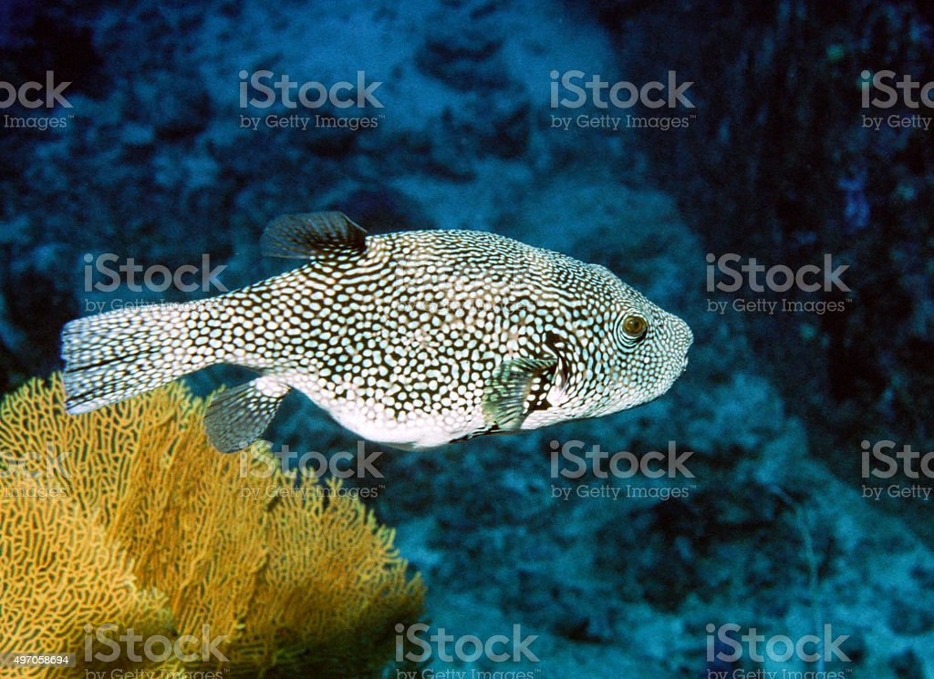 Giant Puffer Fish portrait - Thailand royalty-free stock photo