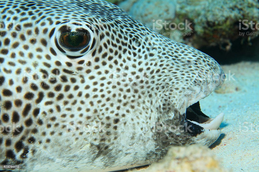 Giant pufferfish stock photo