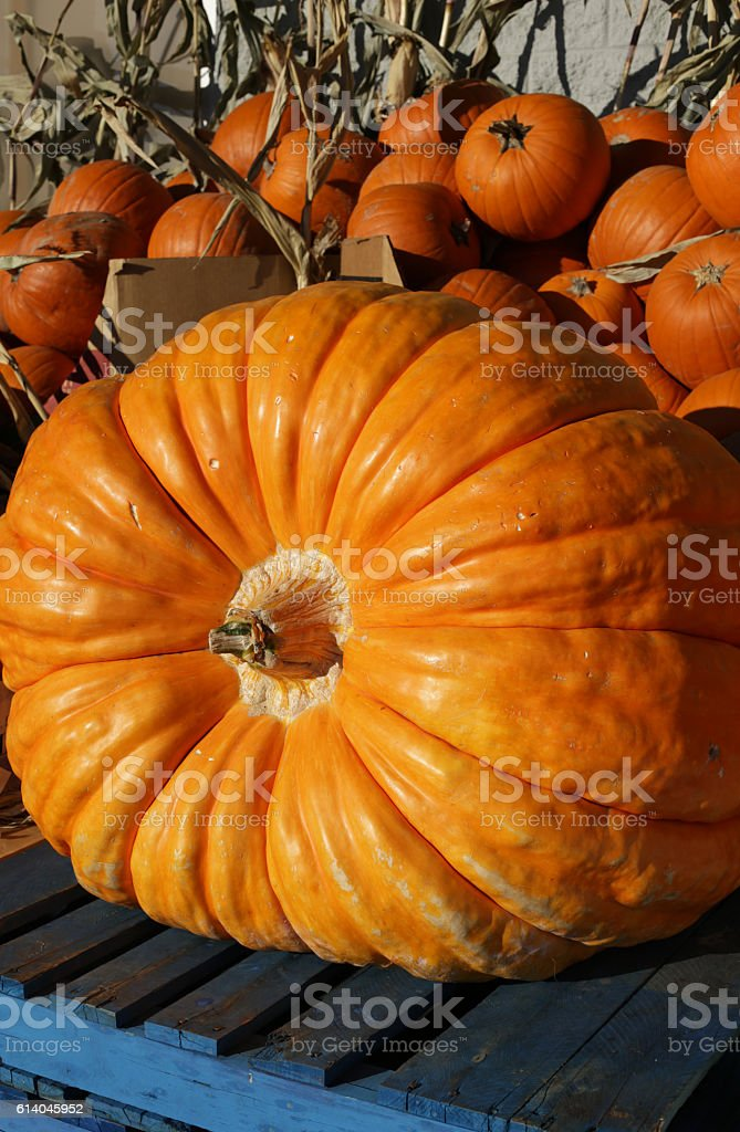 Giant Pumpkin and Small Pumpkins After the Harvest in Canada stock photo