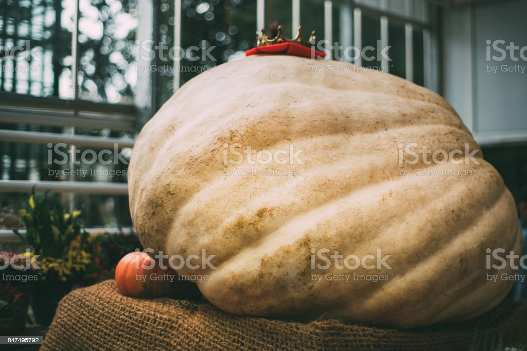 Giant pumpkin in conservatory stock photo