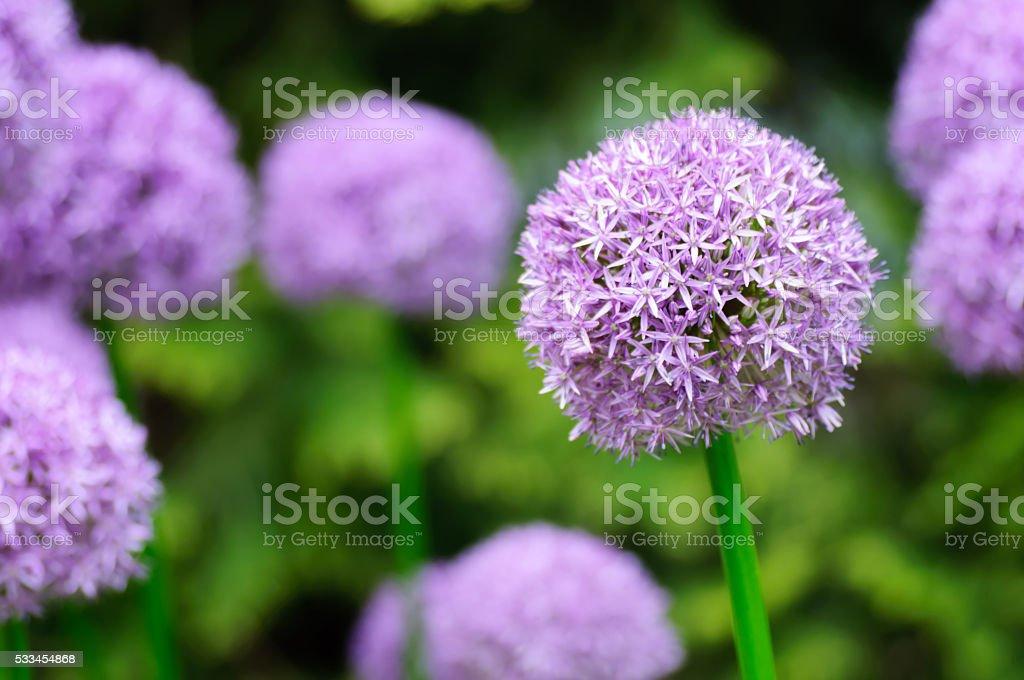 Giant Purple Allium Flowers in a garden stock photo