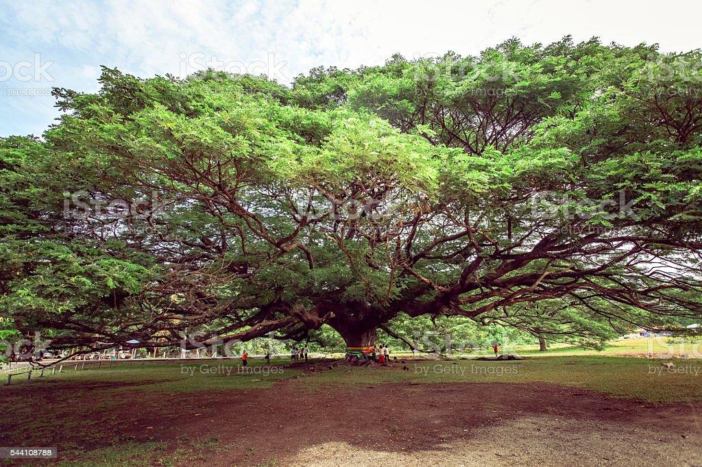 Giant Rain tree (Albizia saman or monkeypod) in Kanchanaburi, Thailand stock photo