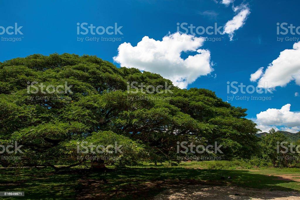 giant Rain tree stock photo